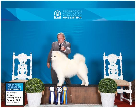 Samoyedo Número #1 De Argentina2019/ 2018 Servicio De Stud