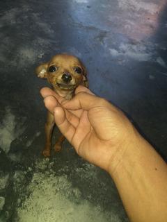 Mini Pincher