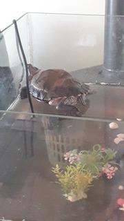 Tortuga Orejas Rojas