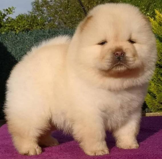 Cachorros Chow Chow . Hacemos Envíos