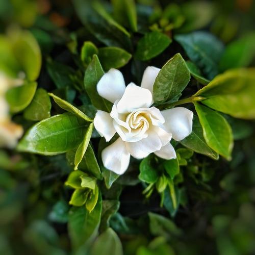 Plantas Jazmin Kimura Oferta!! 4 Estaciones 3 Litros