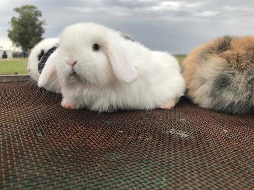 Imagen 1 de 3 de Hermosos Conejos Holland Lop Enanos