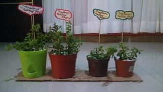 Planta De Jade Mediecito (para Embellecer Tu Casa)