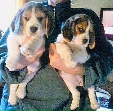 Los Mas Lindos Cachorros Beagles, Genetica De Excelencia !!