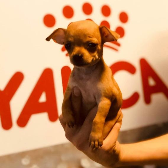 Chihuahua Mini Cachorro