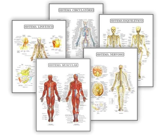 Kit 5 Posteres Anatomia Med Educação Física Fisiologia 30x40