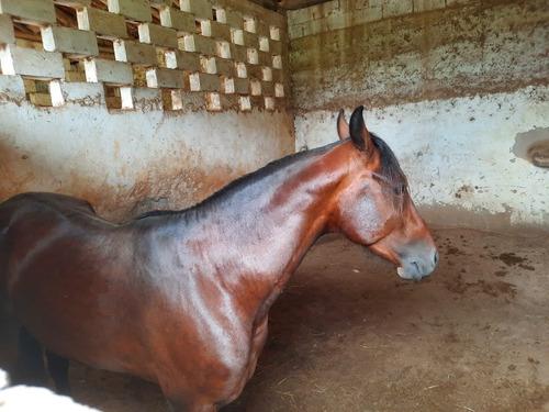 Venda Cavalo Mangalarga Machador -