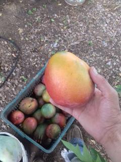 Hojas De Mango 1kg - Tratamiento Natural Diabetes - Organico