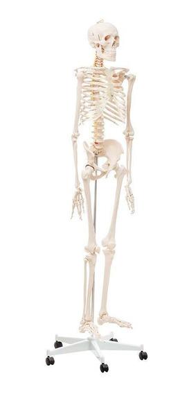 Modelo Anatomico Esqueleto - Anatomik-models