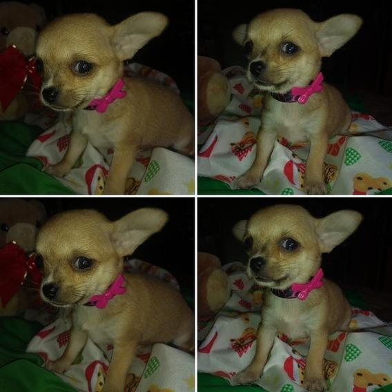 Hembritas Chihuahuas Mini.