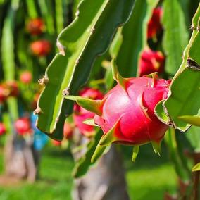 Pitaya Fruit Dragon Polpa Vermelha 50 Sementes Plantio