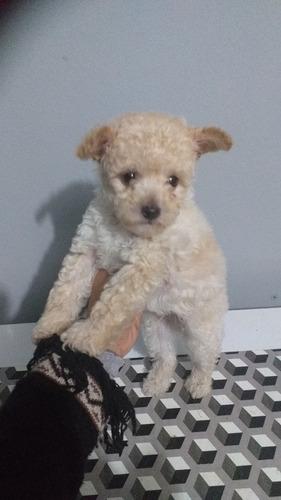 Imagem 1 de 1 de Vendo Poodle Microtoy