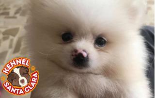 Hermosos Cachorros Lulu De Pomerania