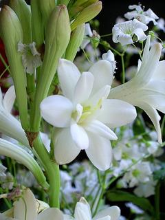 Bulbos 10 Polianthus Vara San Jose Flete Gratis Oferta