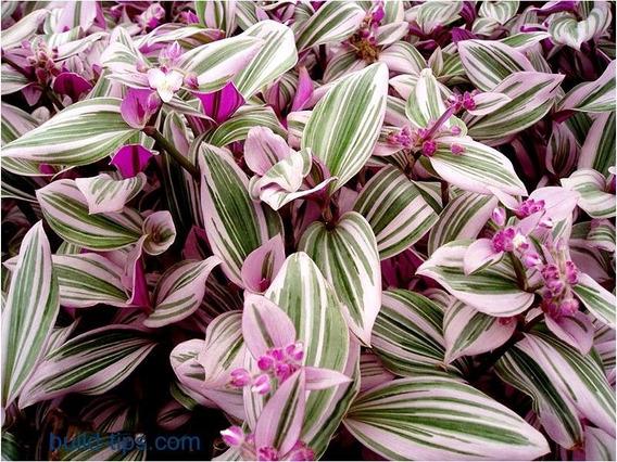 Plantas Raras Tradescantia Tricolor Variegada