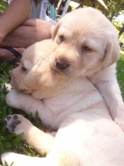 Cachorros Labrador Retriever Hermosos Ejemplares Dulce Puppy
