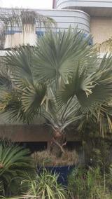 Palmeira Bismark Palmeira Azul