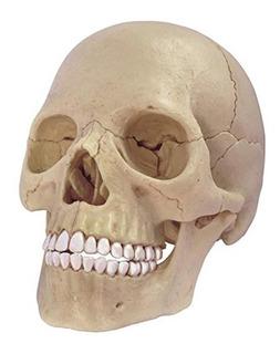 Modelo Craneo 4d Human Anatomy Exploded Skull Anatomy Model