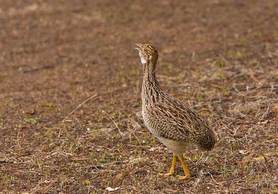 Cd - Canto Codorna-do-nordeste - Cantos De Pássaros