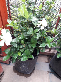 Plantas De Gardenia