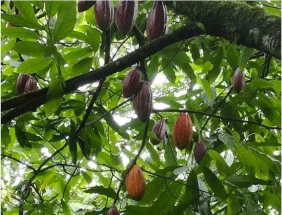 Finca De Cacao En Yamasá