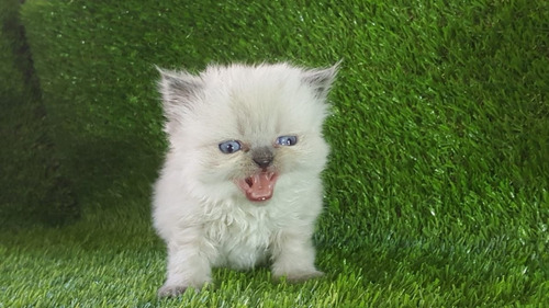 Imagen 1 de 3 de Gato Persa Ojos Azules