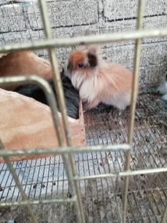 Conejos Mini Cabeza De Leon (morelia Mich)