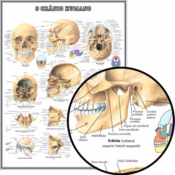Mapa Crânio Humano Hd 65x100cm Poster Medicina Fisioterapia