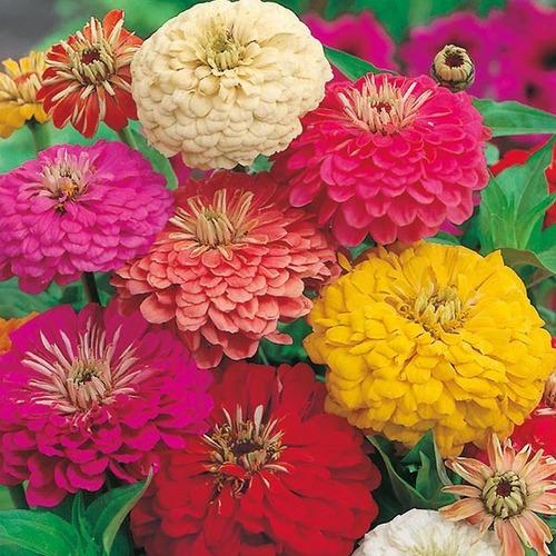 100 Semillas Flor Zinnia De Dalia + Obsequio Germinación