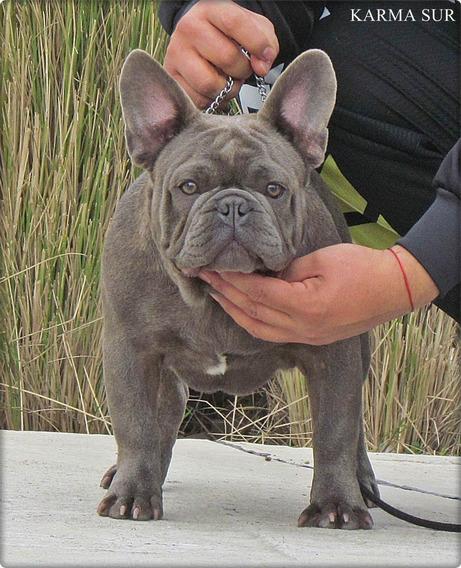 Bulldog Frances Blue En Servicio Stud