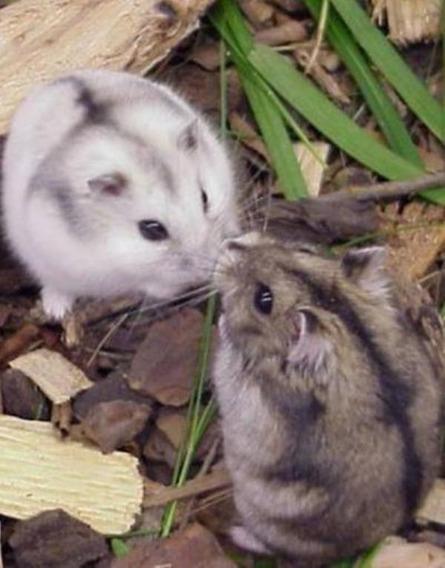 Hamster Anão Russo Filhotes