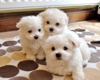 Kc Preciosos Bebés Malteses