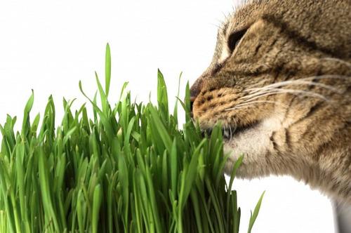 Graminha Pet Para Gatos Melhora Digestão Grama 100% Natural
