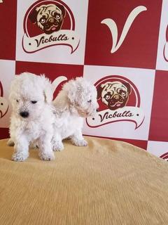 Guapos Enanos Frech `poodle Minitoy 18cm Adulto Linduras