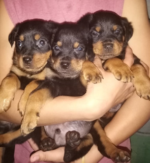 Vendo Cachorros Rotwaillers..