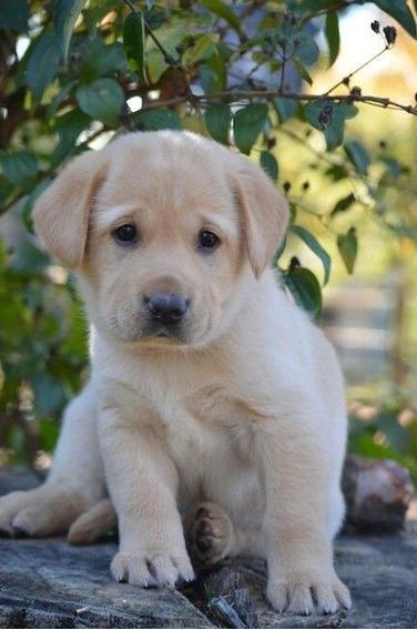 Cachorro Labrador Dulce Ladriditoss
