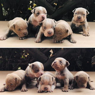 Cachorros American Bully Tricolores
