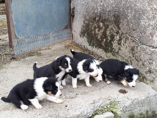Hermosa Border Collie Cachorros En Venta