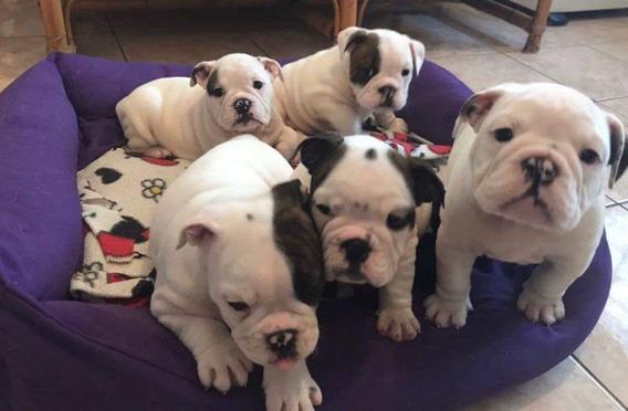Bulldogue Inglês Excelentes Filhotes