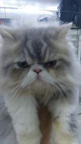 Filhote Lindo Gato Persa