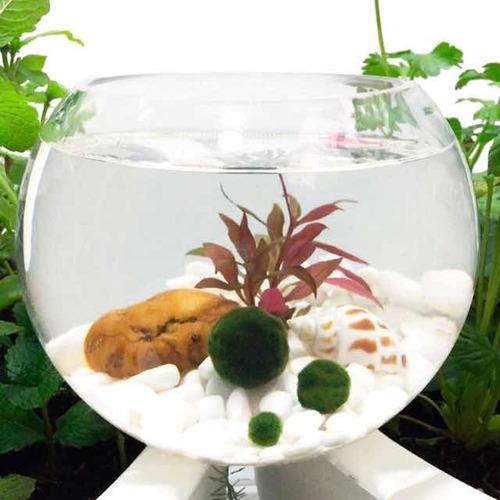 Marimo Home Alga Japonesa Moss Ball X 3 Und