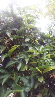 50 Semillas De Maracuyá Pasiflora Amarillo