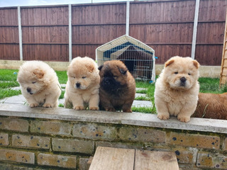 Gorgeous Chow Chow Cachorros.
