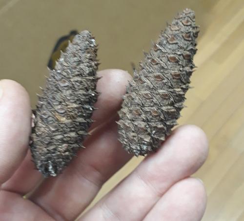 15 Mini Pinhas Pequenas 5cm Natural Enfeite Natal Artesanato
