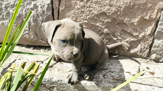 Pitbull Blue Finos