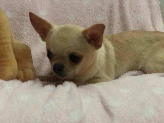 Chihuahua Machito Mini Excelente 9 Meses
