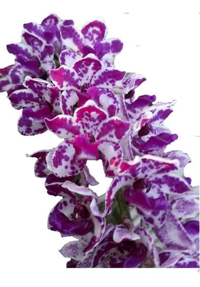 Orquídea Rhynchostylis Gigantea Spoted