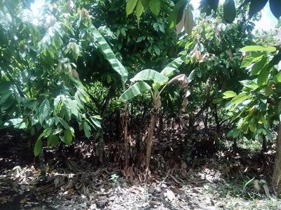 Finca De Cacao En Venta En Altamira Puerto Plata