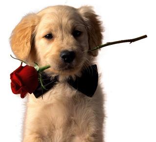 Moño Corbata Collar Para Mascotas Perros Gatos Con Envío