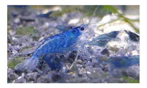 Imagen 1 de 10 de Camaron Blue X 10 Gambas Azules Neocaridina Fotos Reales!!!!